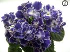 Темный сине-фиолетовый  цвет в природе