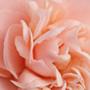 Персиковый цвет. Часть первая