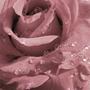 Цвет пепел розы (mauve) и сочетание с ним