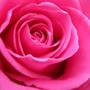 Ярко-розовый цвет и сочетание с ним