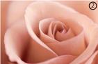 Креветково-розовый цвет